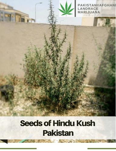 Pakistani_Afghanilandrace%20Marijuana(3)