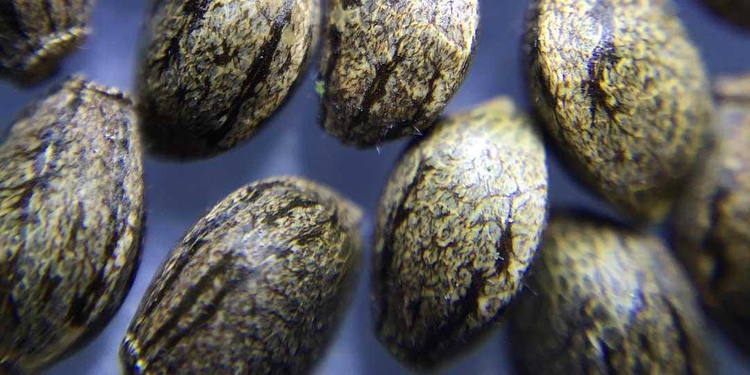six-cannabis-seeds-per-pack