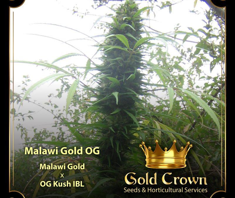 GoldCrown-Frame-Malawi-Gold-01-800x675
