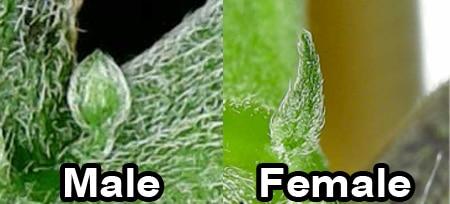 cannabis-preflower-comparison
