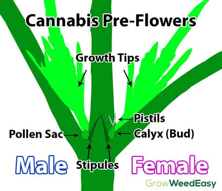 cannabis-preflowers-diagram-sm